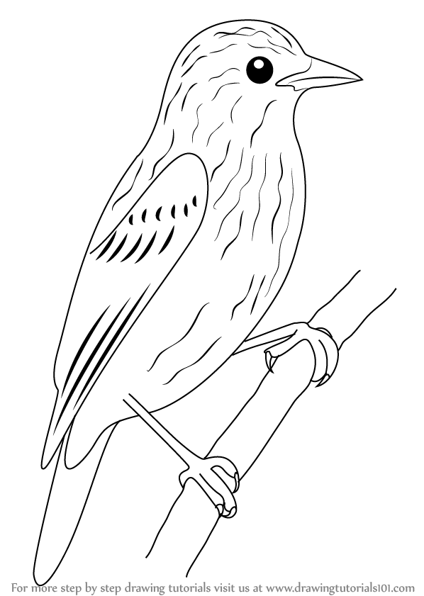 Learn How to Draw Xenops (Birds) Step by Step : Drawing Tutorials ...