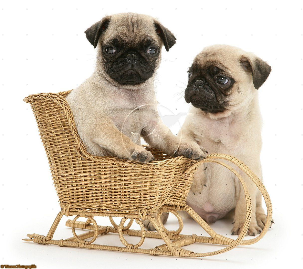 Fawn Pug Pups With A Wicker Toy Sledge Fawn Pug Baby Pugs Pugs