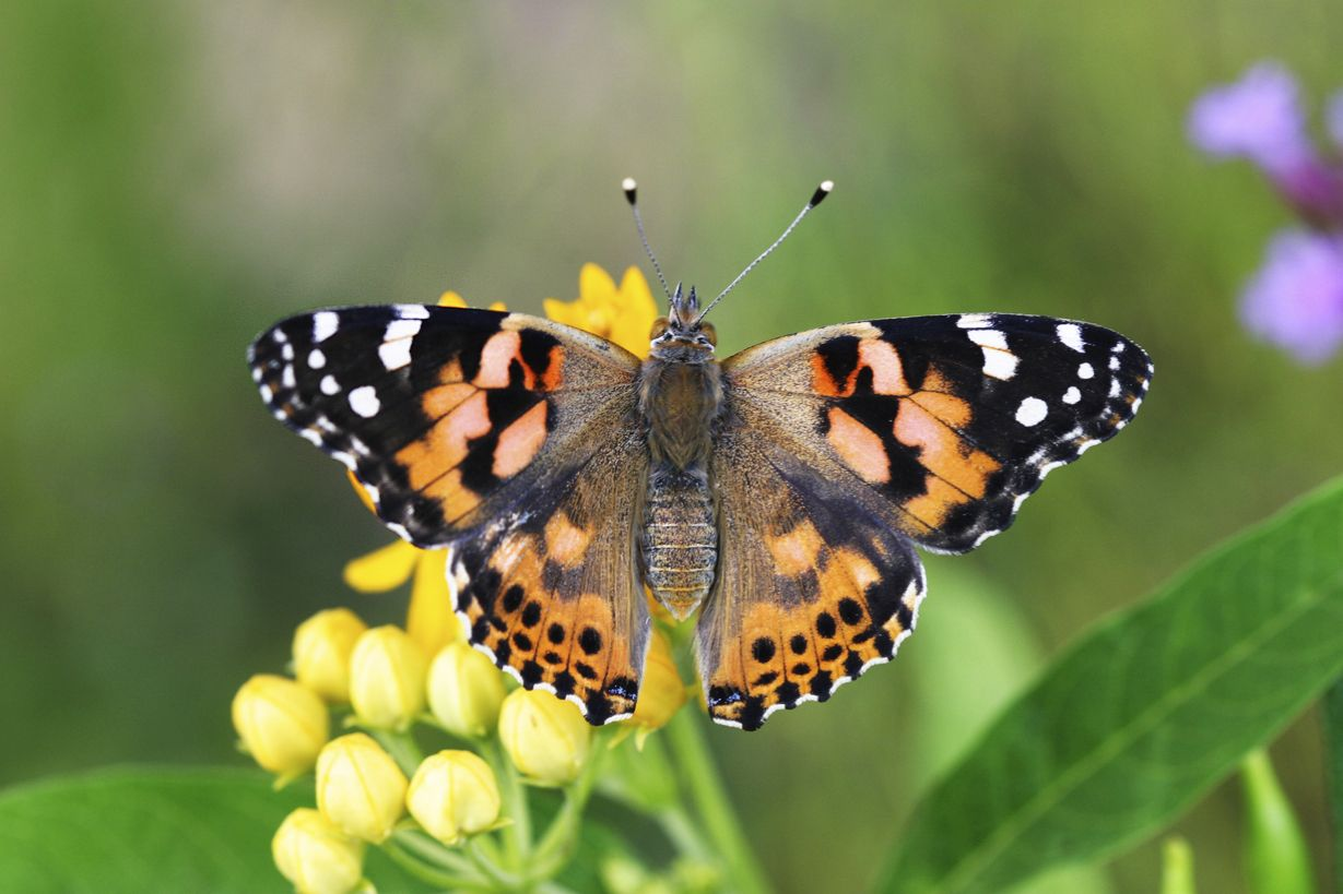 The Painted Lady Butterfly Our Favorite