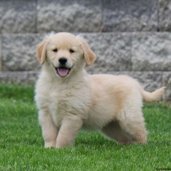 Golden Retriever Puppies For Sale Retriever Puppy Greenfield