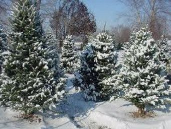 Blue Star Tree Farm Pure Michigan Travel London Christmas Christmas Tree Pure Michigan Travel