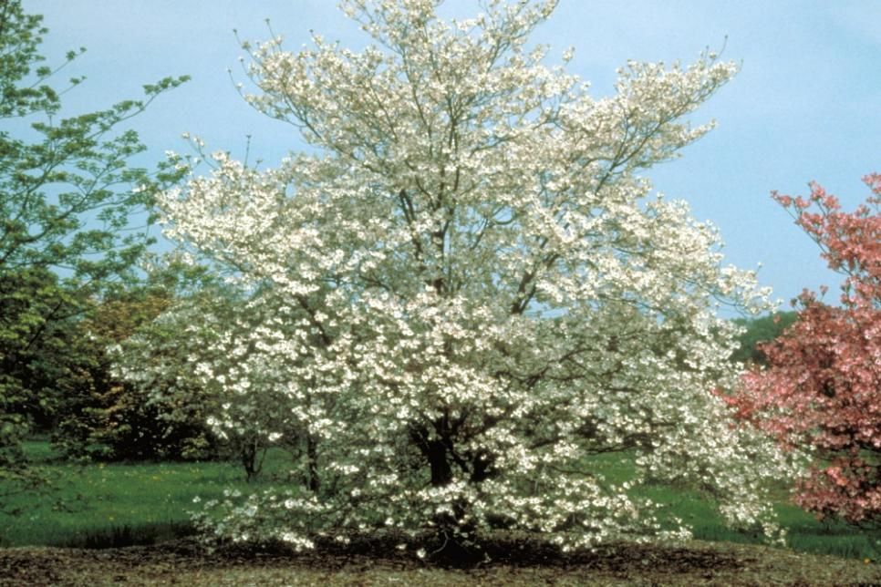 Flowering Dogwood Tree Varieties Trees Dogwood trees