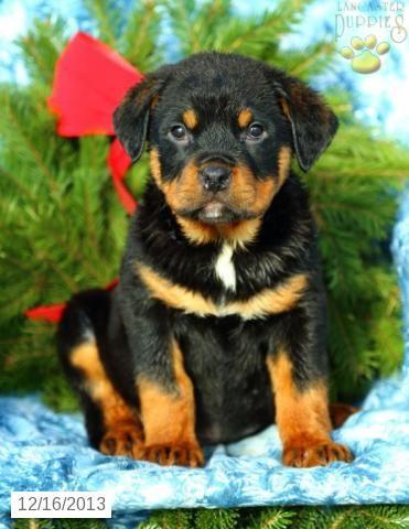 Rottweiler Puppy For Sale Rottweiler Puppies Puppies
