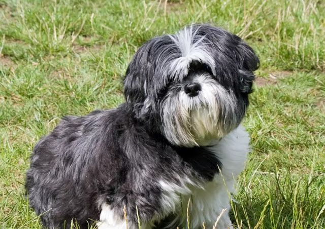 10 Best Small Dog Breeds That Don T Shed The Buzz Land Hair