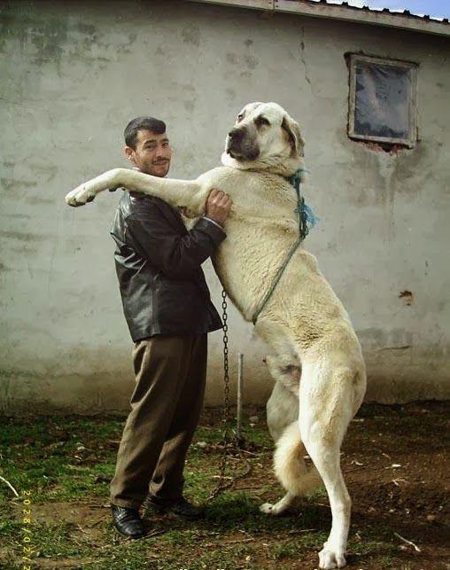 The 10 Largest Dog Breeds Turkish Kangal Kangal Dog Large