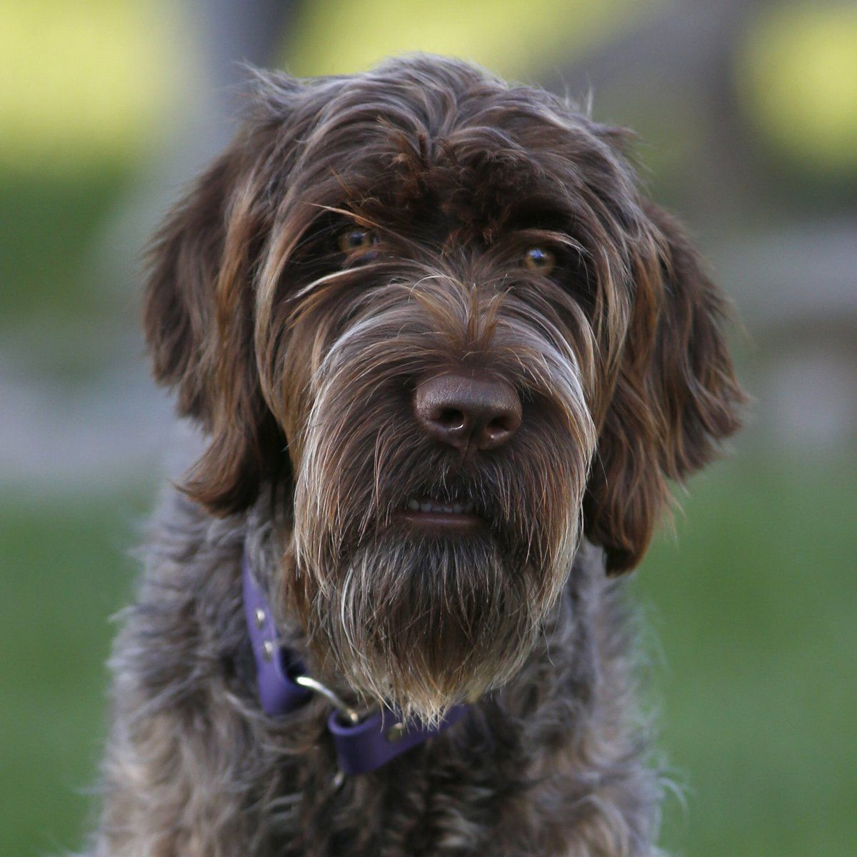 Wirehaired pointing griffon puppies for sale 2020 colorado