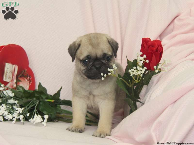 Samson A Sweet Pug Puppy For Sale In Ronks Pa Pug Puppies For