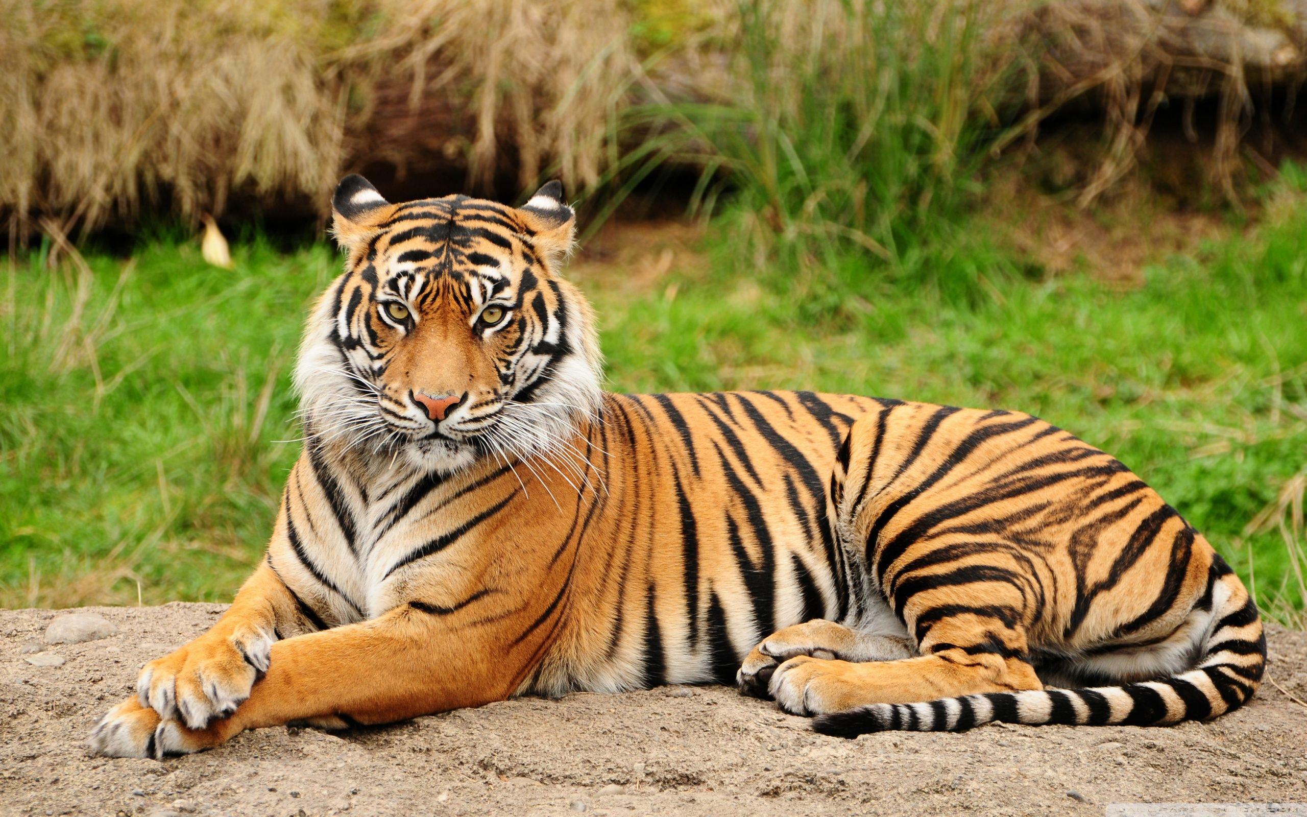 tiger hd images get