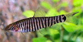 Micronemacheilus Cruciatus Hovering Zebra Loach Tropical Fish Diszhal Info Tropical Fish Cool Fish Aquarium Fish