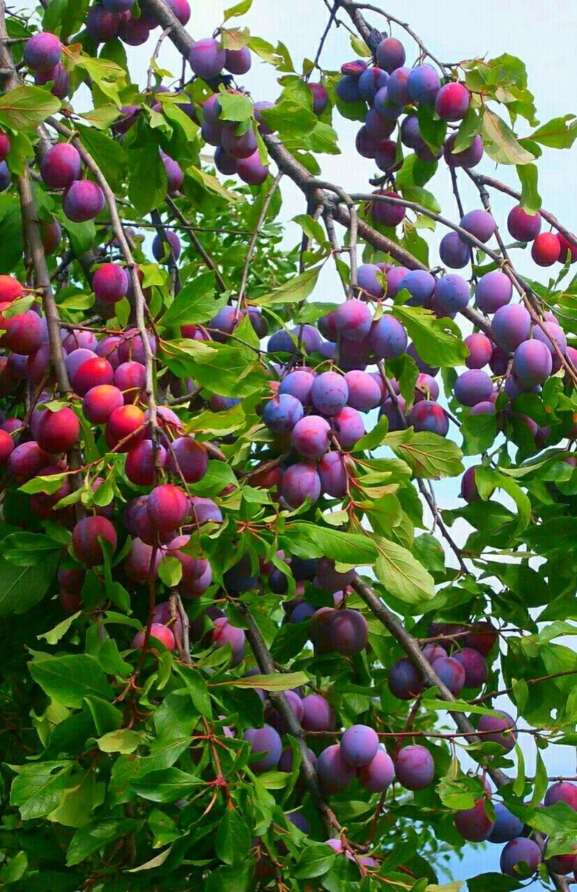 Pin by greenben iv on exotic fruituvegetables pinterest gardens