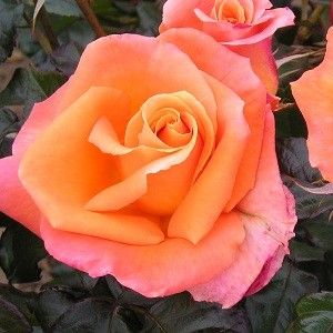 mamma mia rose flowers blumen pinterest blumen. Black Bedroom Furniture Sets. Home Design Ideas