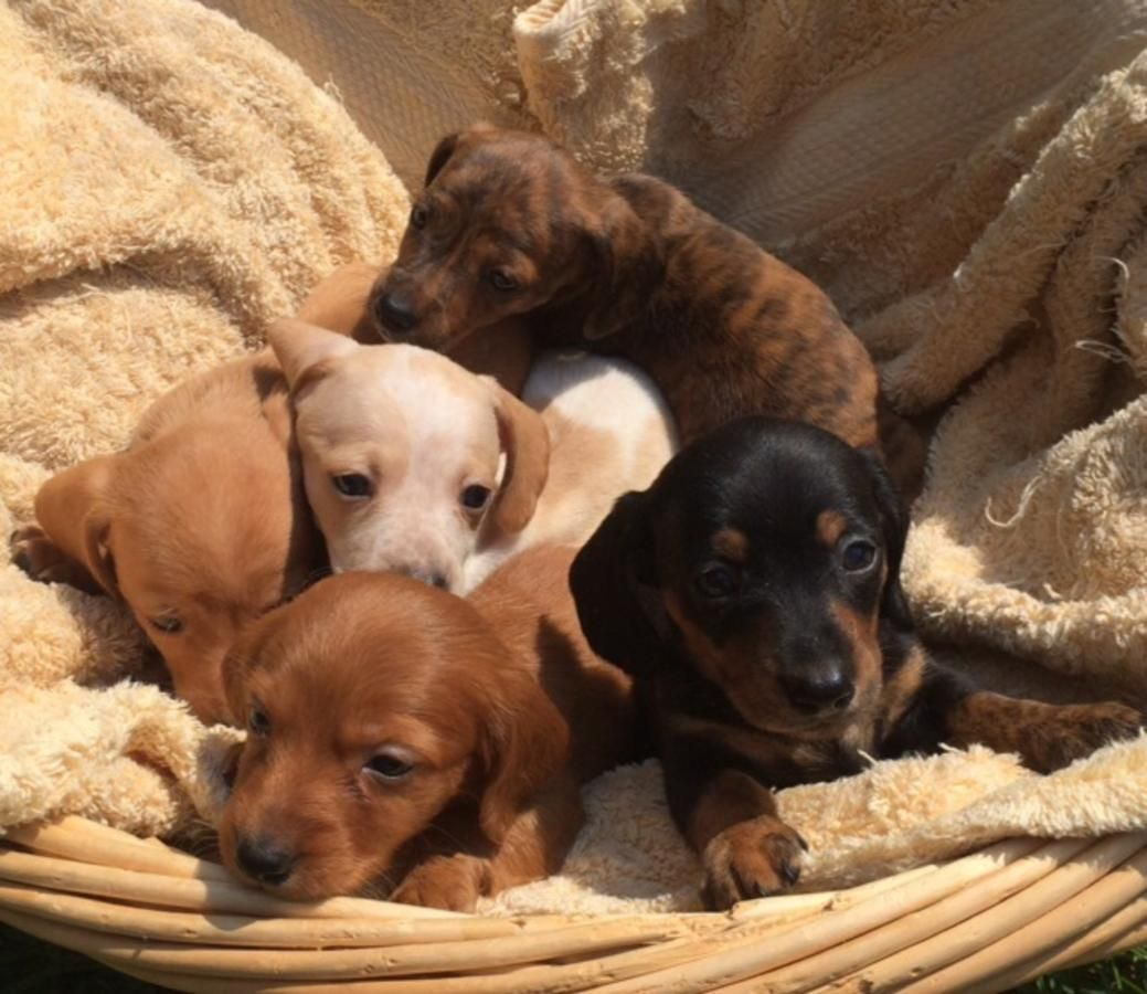 Dachshund Puppies Dachshund Puppies Puppies Dachshund