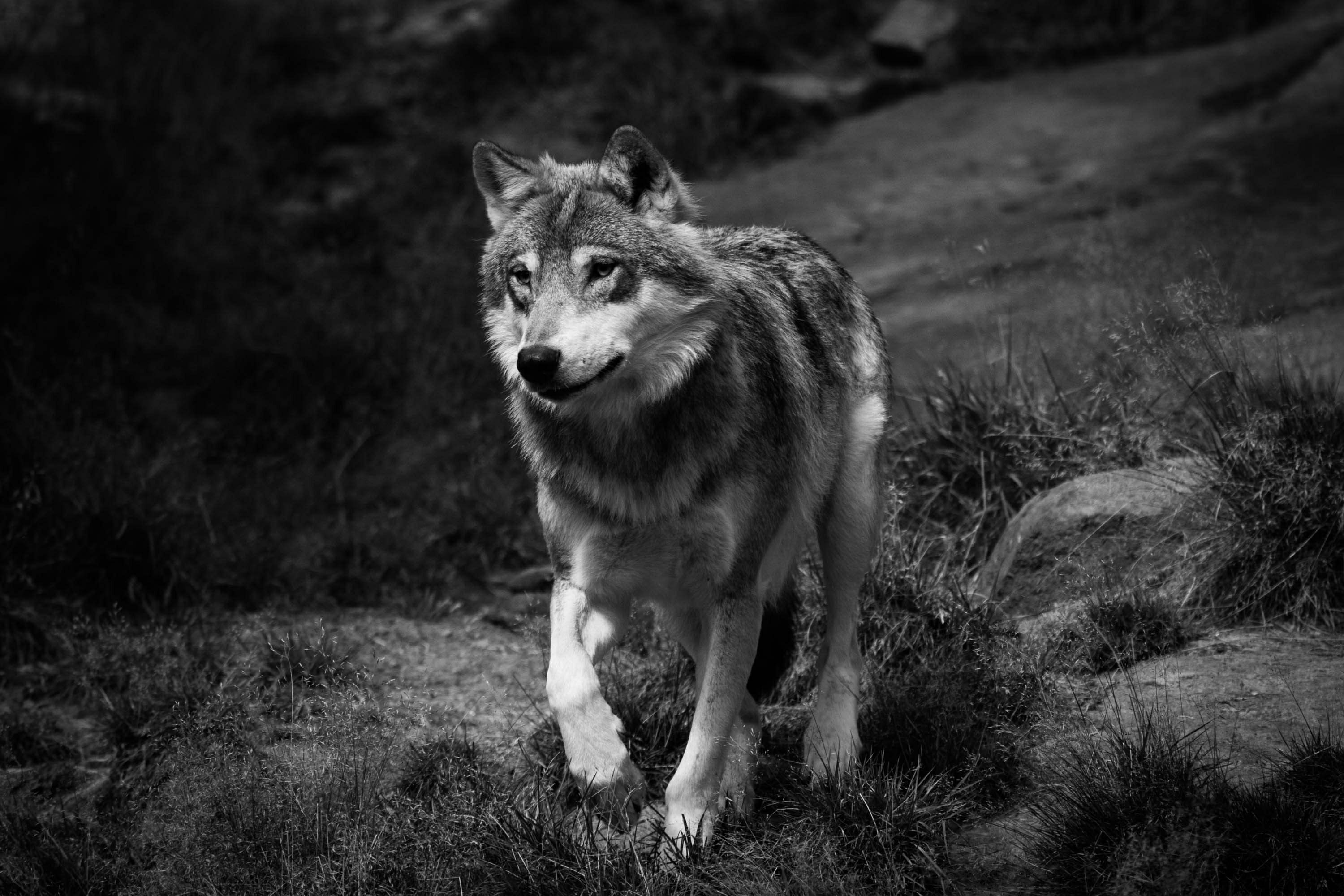 Black and white wolf photography wolf form x black and white