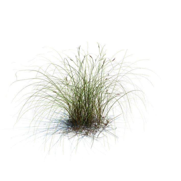 Carex aurea 078 am126