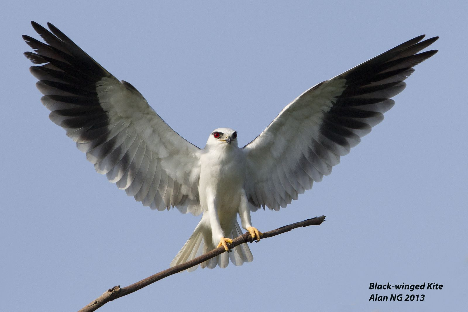 Black Winged Kite Black Wings Beautiful Birds Kite