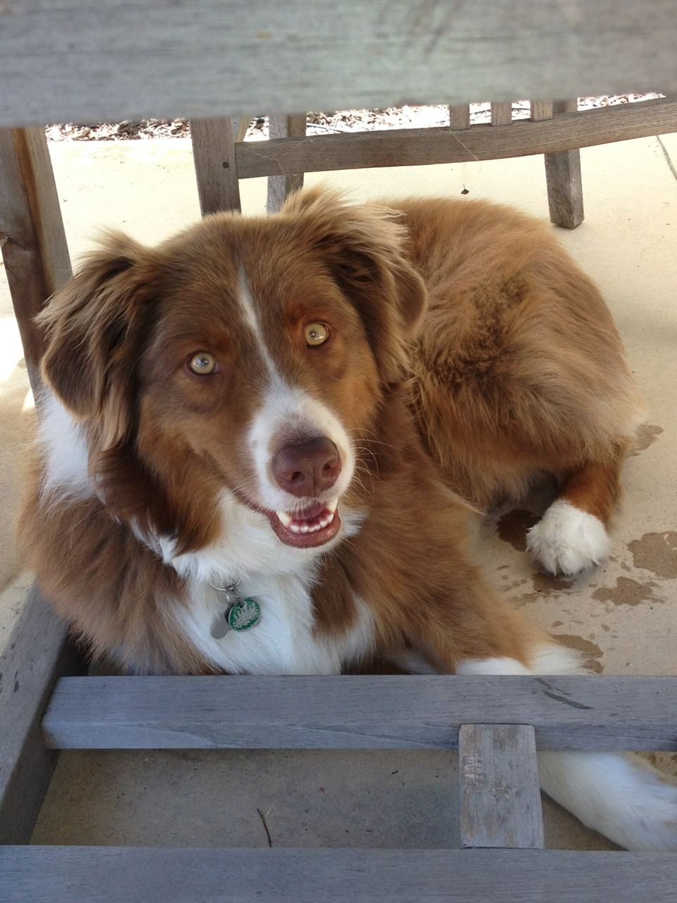 australian shepherd red tri our angel from heaven   lucy  lucy goosy  nana to our boys  love her