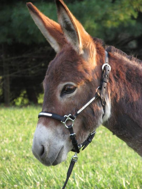 Fransisca showing off her pretty red eyelashes! Courtesy: The Red Gate Registered Miniature Donkeys. Centerburg, Ohio (USA).