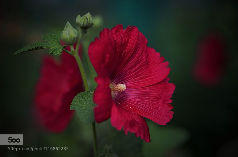 Scarlet beauty by fxkito2 #nature