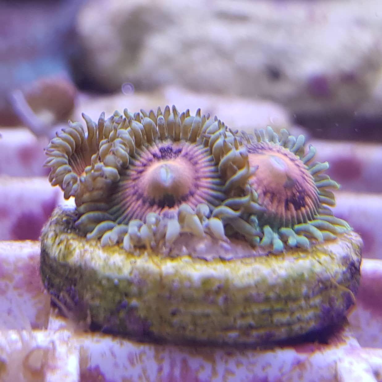 Zoanthus Rainbow Incinerator 3 Polypen Korallen Kaufen Steinkorallen Weichkorallen