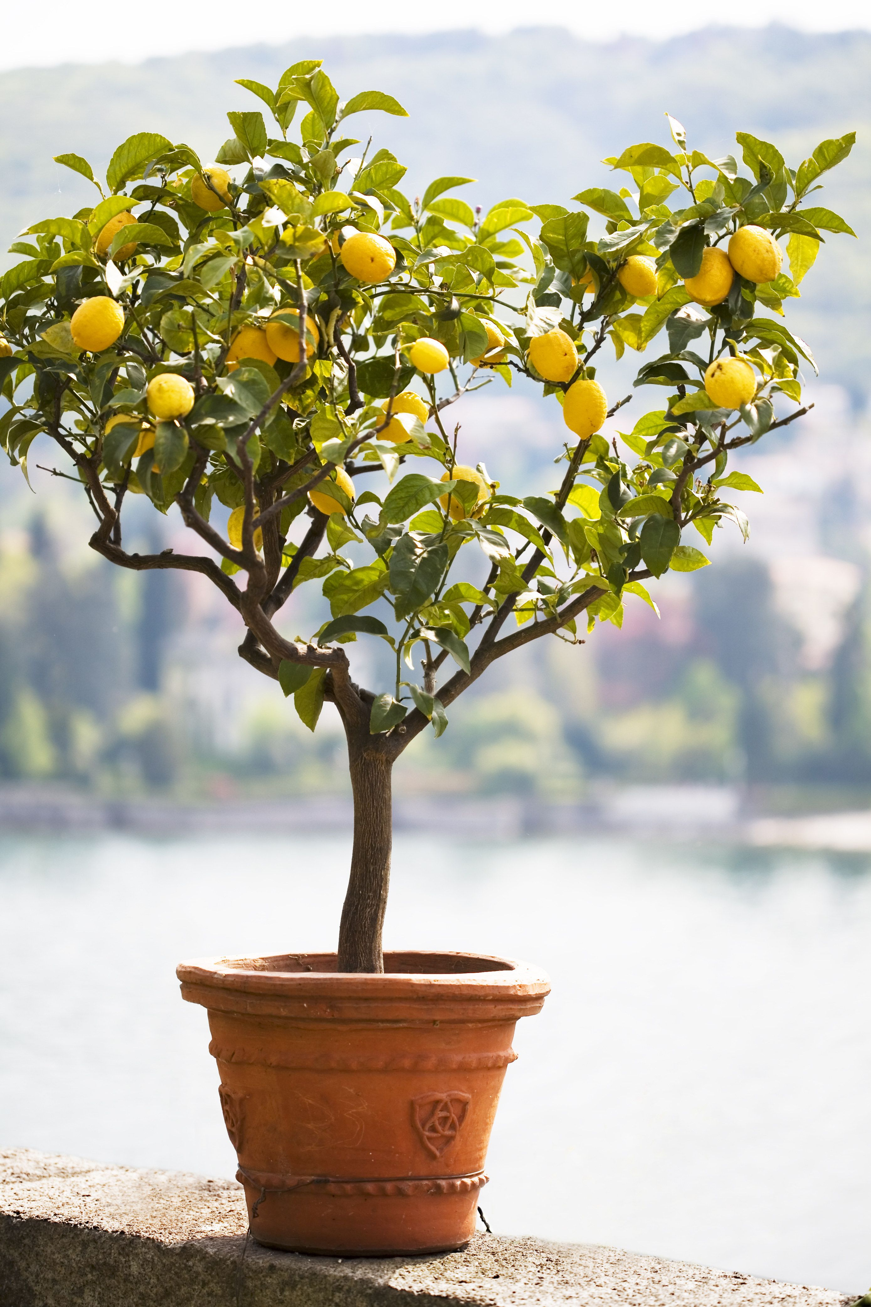 Yes You Can And Should Have A Lemon Tree In Your Home Sodomino Yellow Plant Tree Woodyplant Houseplant Fl Citrus Plant Meyer Lemon Tree Citrus Trees