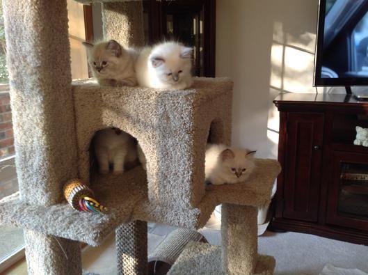 #ragdoll #kittens #heaven #oregon #my #inMy Ragdoll Heaven Ragdoll Kittens in Oregon #ragdollkittens #ragdoll #kittens #heaven #oregon #my #inMy Ragdoll Heaven Ragdoll Kittens in Oregon #ragdollkittens #ragdoll #kittens #heaven #oregon #my #inMy Ragdoll Heaven Ragdoll Kittens in Oregon #ragdollkittens #ragdoll #kittens #heaven #oregon #my #inMy Ragdoll Heaven Ragdoll Kittens in Oregon #ragdollkittens #ragdoll #kittens #heaven #oregon #my #inMy Ragdoll Heaven Ragdoll Kittens in Oregon #ragdollkit #ragdollkittens
