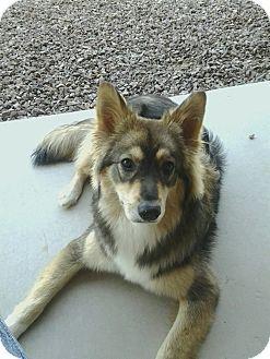 Chandler Az German Shepherd Dog Husky Mix Meet Gabby A Puppy For Adoption German Shepherd Dogs Dogs Cute Animals