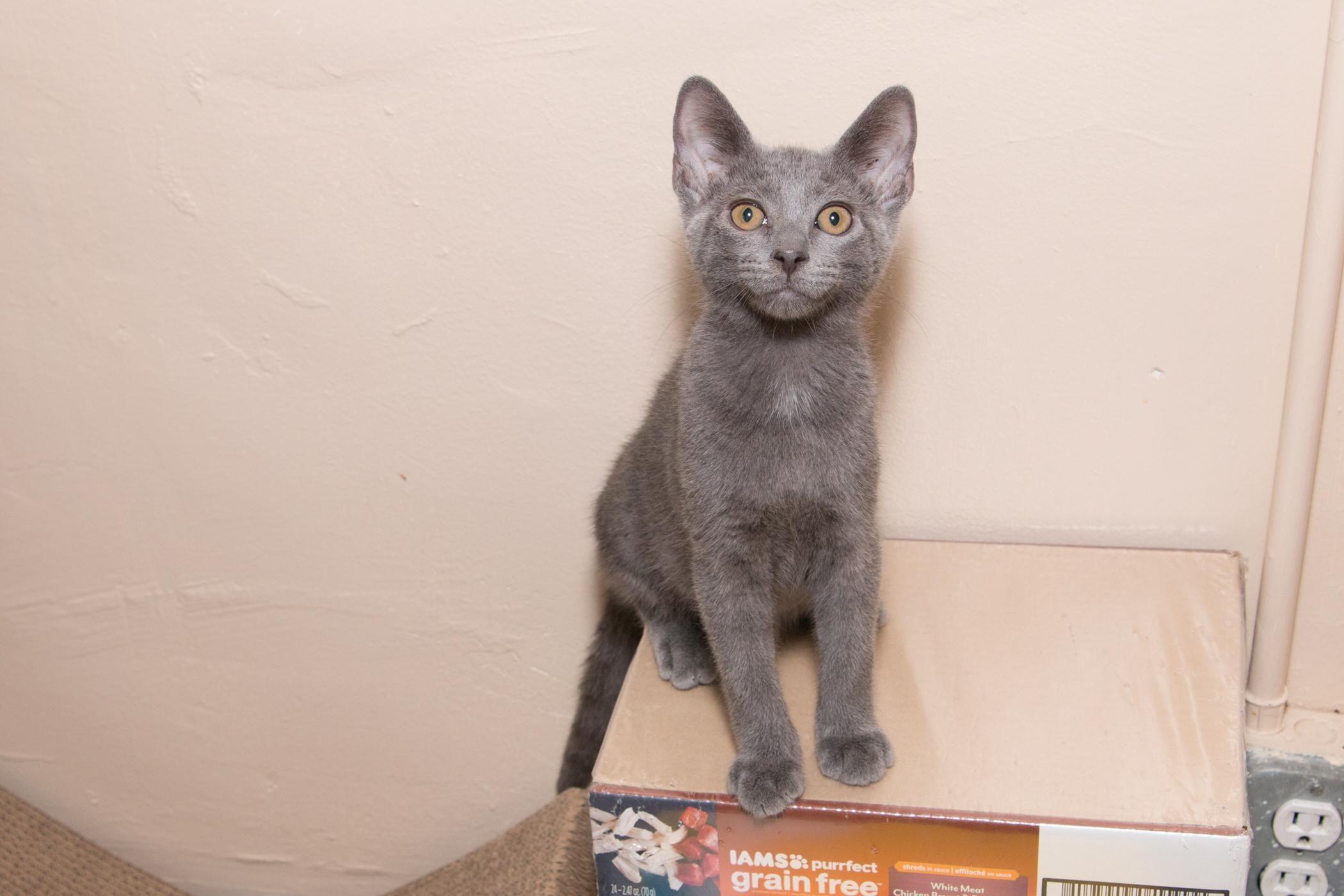 Adopt Matt On Petfinder Russian Blue Cat Blue Cats Russian Blue