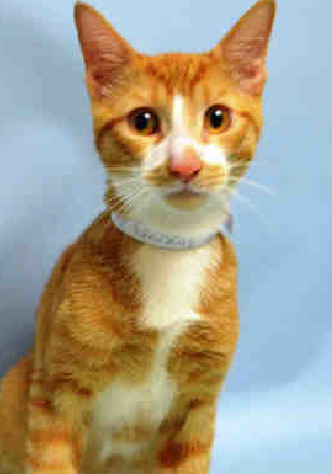 CHESTER - A1050353 - - Brooklyn  **TO BE DESTROYED 09/21/15** BEGINNER-rated CHESTER is an adorable creamsicle kitten with bright button eyes, who needs a FOSTER or ADOPTER tonight! He is in excellent health and is probably someone's lost pet, and the shelter has had him since early September—yes, plenty of time to have rehomed him. But, they did not manage to find a new placement for this highly desirable pet, which is why he must be shared to the moon and back