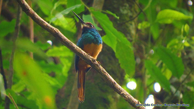 White-chinned Jacamar, Galbula tombacea, Reserva Natural de las Aves Halcón Colorado, Birding tour llanos orientales, Bogota Birding