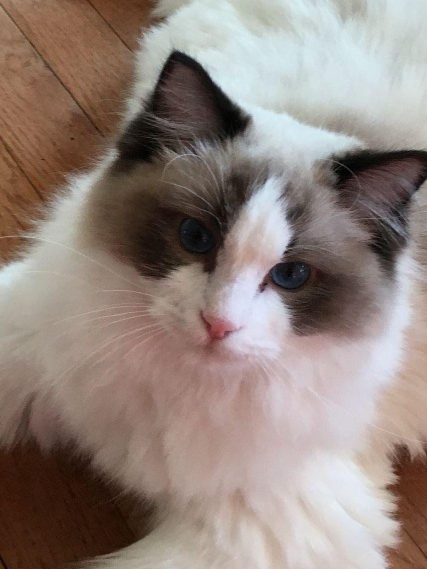 Seal Bicolor Beautiful Sabrina Cat Breeds Kitty Furry