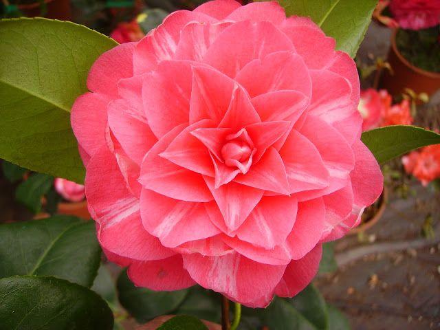 Camellia Japonica Etoile Polaire Aka Stella Polare U K 1861 Camellia Flowers Plants