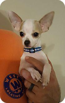 Summerville Sc Chihuahua Mix Meet Angel A Puppy For Adoption Http Www Adoptapet Com Pet 17164579 Summerville South Caroli Puppy Adoption Chihuahua Pets