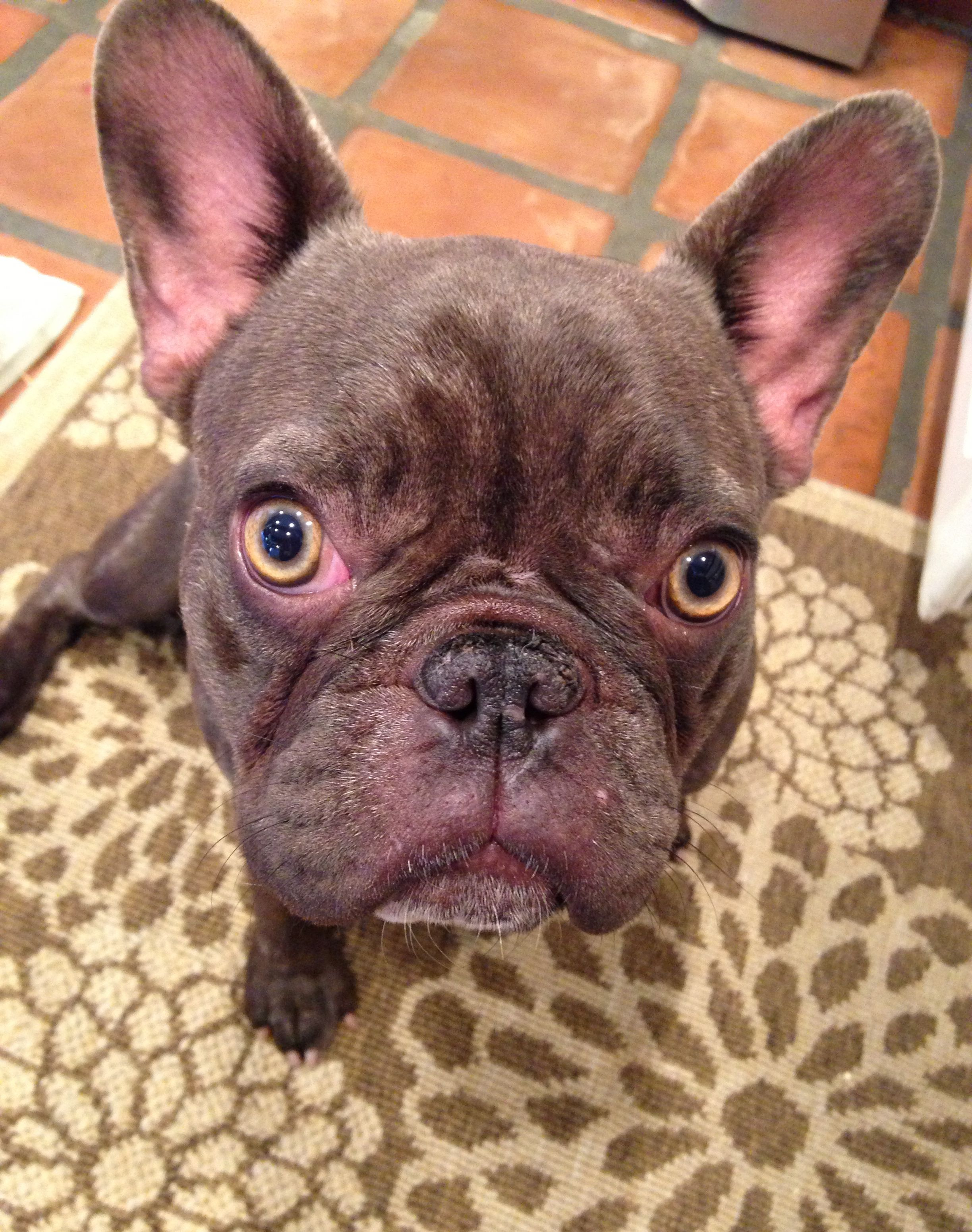 Hazel Nutella | Frenchies | French bulldog blue, French