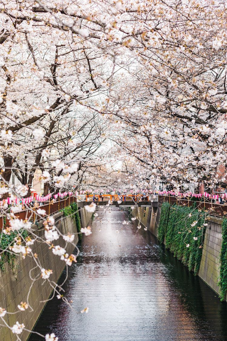 Our Cherry Blossom Experience At The Famous Meguro River In Tokyo Travel Pockets Magical Vacations Travel Tokyo Travel Tokyo