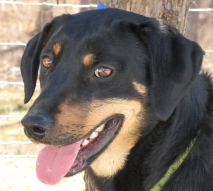 "This good looking, tail wagging boy loves life! Our, Titus, a 3 year old, male, Rottweiler mix is an active, fun boy who is so open to new experiences. A volunteer who knows him best describes him as, ""A terrific combination of vibrant and sweet - a dog to lift your spirits and cuddle with too."" This smart, playful boy and would excel at agility/obedience training, and make a great hiking/jogging buddy. What a great boy to share your life with!"