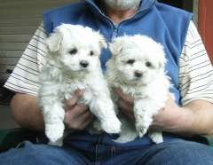 Maltese Male And Female Pups Puppies For Sale Beaufort Victoria Maltese Dogs For Sale In Australia Http W With Images Maltese Puppy Maltese Dog For Sale Dog Breeds