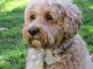 Bear Is An Adoptable Cockapoo Dog In Richmond Va Bear Is A 6