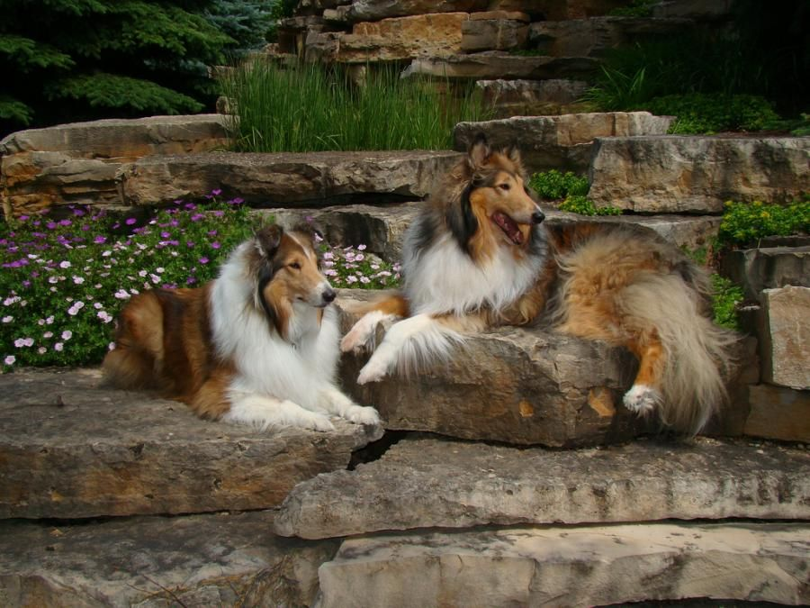 Rough Collies Herding Dogs Dog Breeds Collie Dog