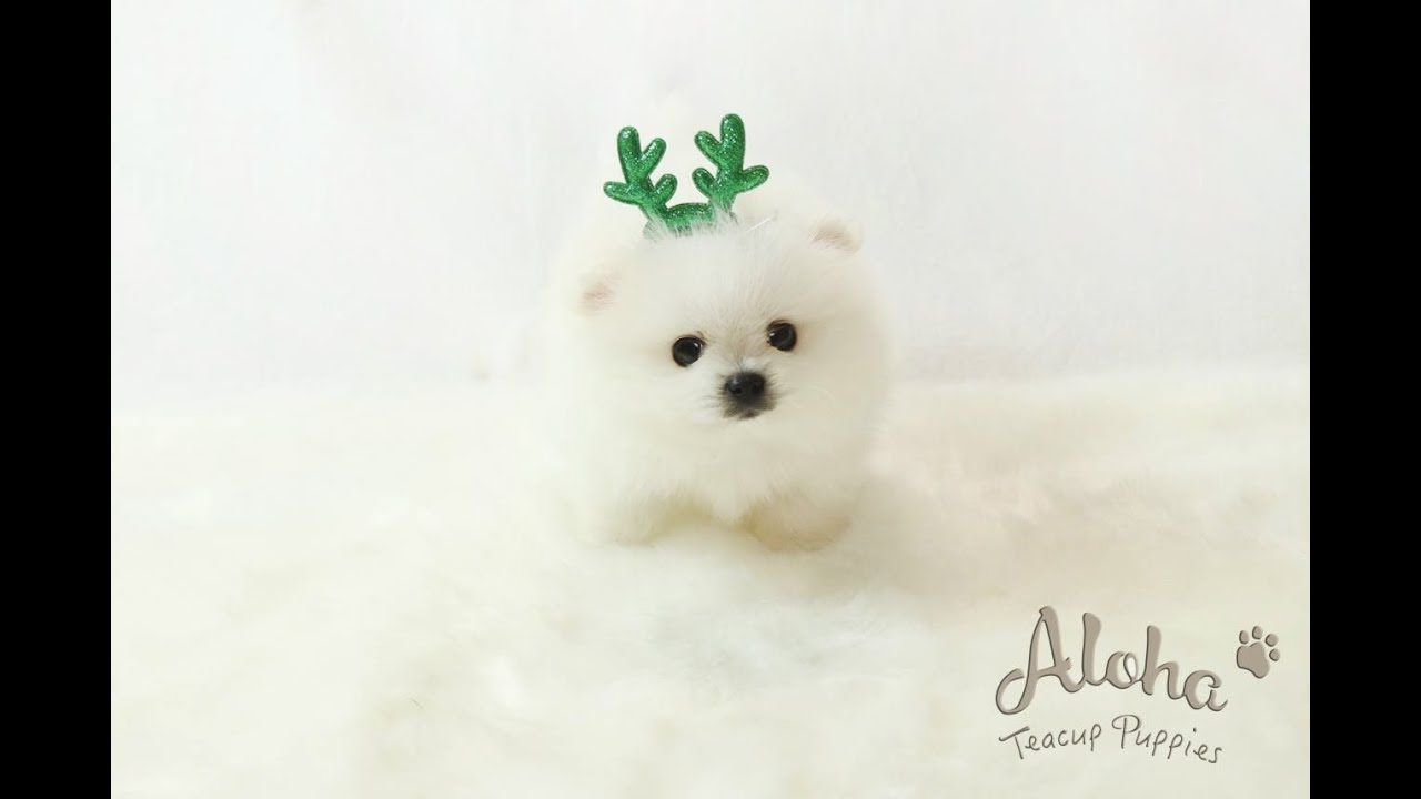 Teddy Premium Teacup Pomeranian Is Only Alohatacup Puppies Luxurious Snow White Coat Perfect Teddy Teacup Puppies Teacup Pomeranian Pomeranian Lovers