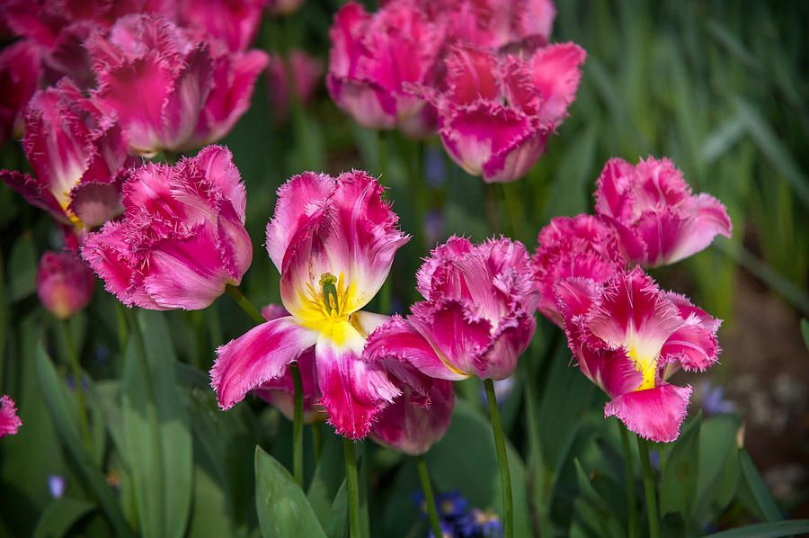 Glorious Tulips Display In Keukenhof Botanical Garden 2. Netherlands Photograph by Jenny Rainbow