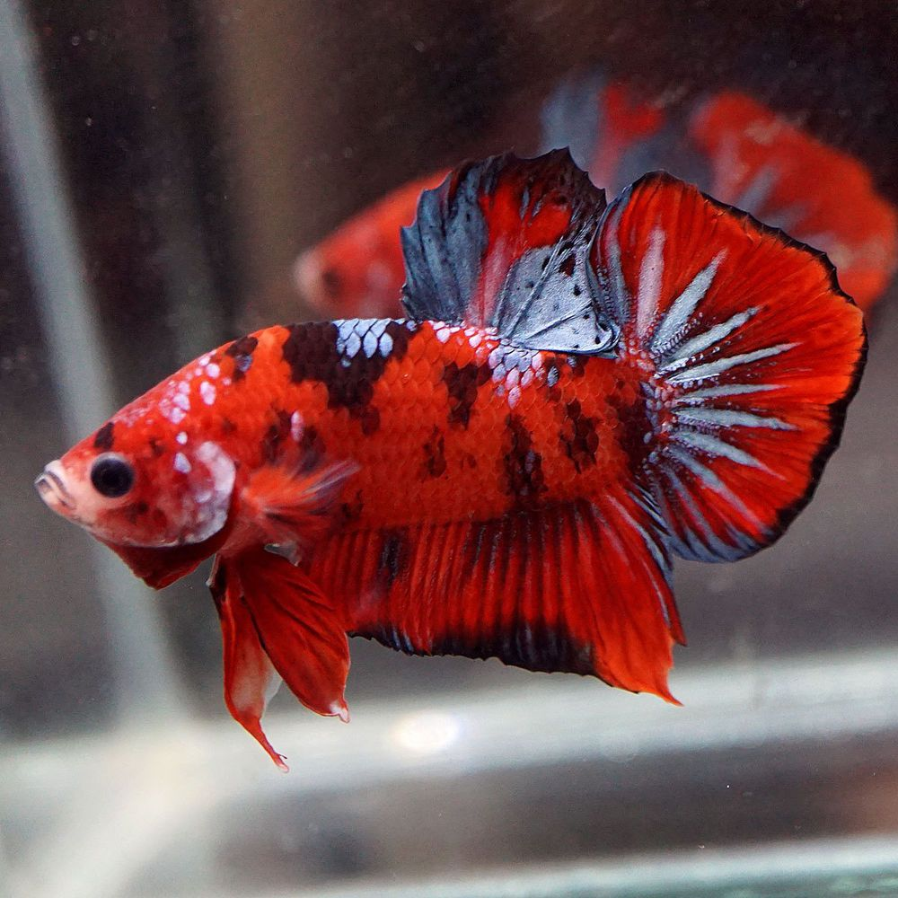 Super Red Koi Steel Blue Halfmoon Plakat Hmpk Male Betta Youtube This Beautiful Betta Was Imported From Thailand Natural Of Be Ikan Cupang Ikan Air Tawar