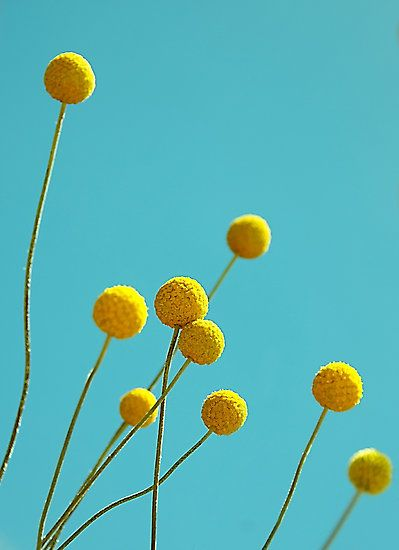 Billy Buttons By Basia Mcauley Billy Buttons Flowers Button Flowers