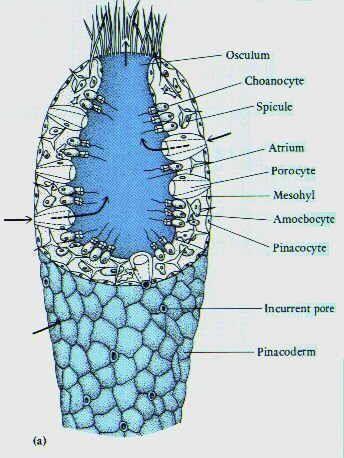 Anatomy of porifera