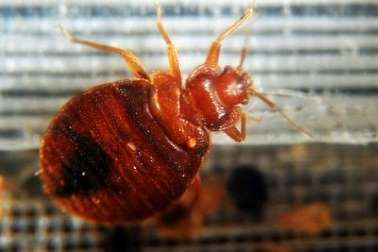 Why Bed Bugs Are Making A Comeback Put All Sites Or Pages For