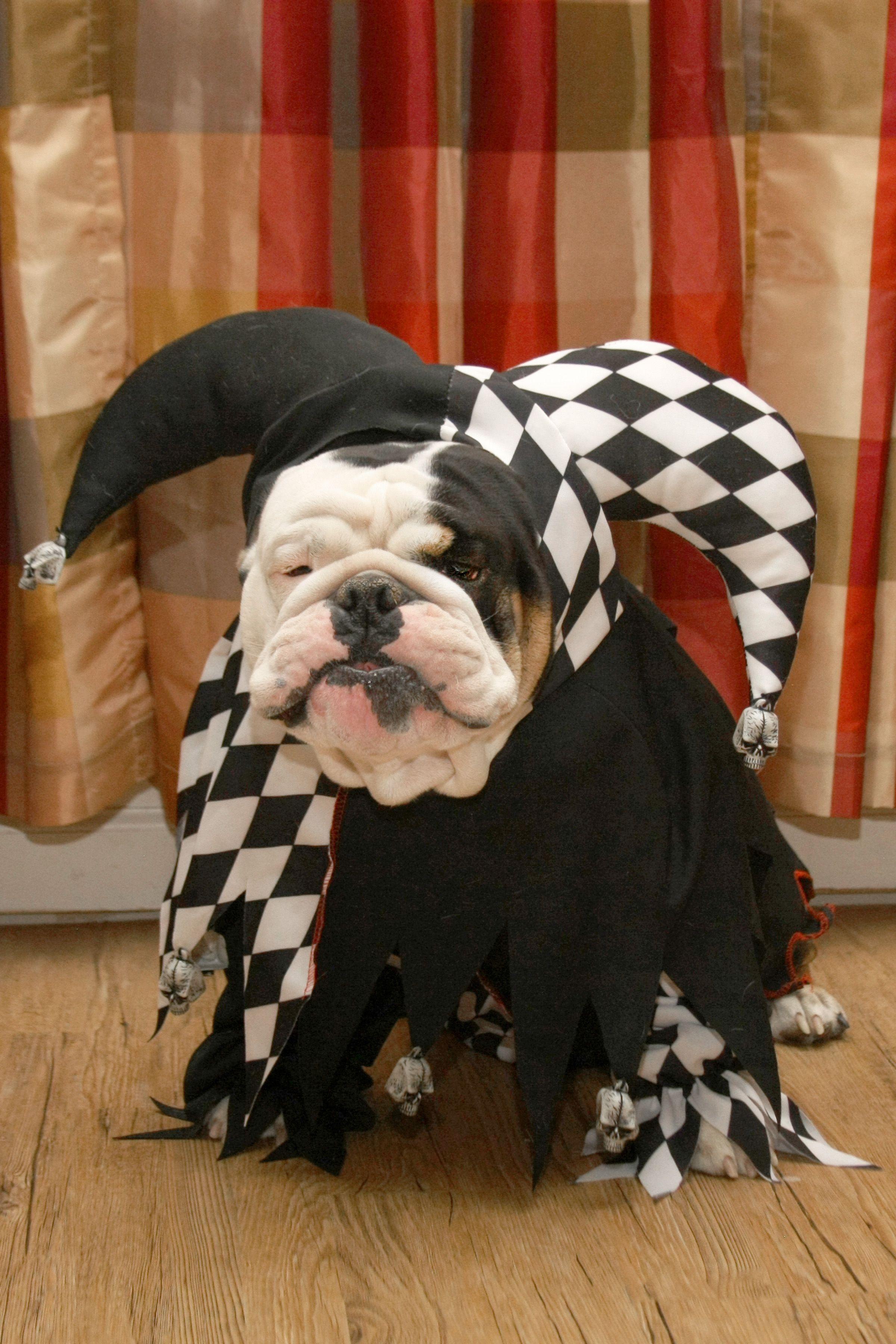 The Joker Bulldog Halloween Costumes Bulldog Breeds Pet Costumes