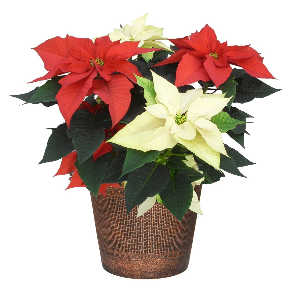 Here Are Some Tips To Help You Keep Your Poinsettias In Top Shape