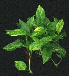 NASA Study House Plants Clean Air   NASA And The Associated Landscape  Contractors Of America (