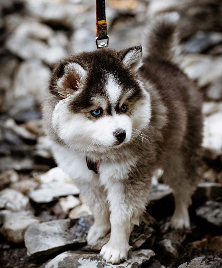 pomeranian Siberian husky, Pomsky dog, Pomsky puppies