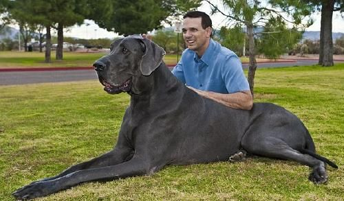 Giant George Huge Dogs Worlds Biggest Dog Worlds Largest Dog