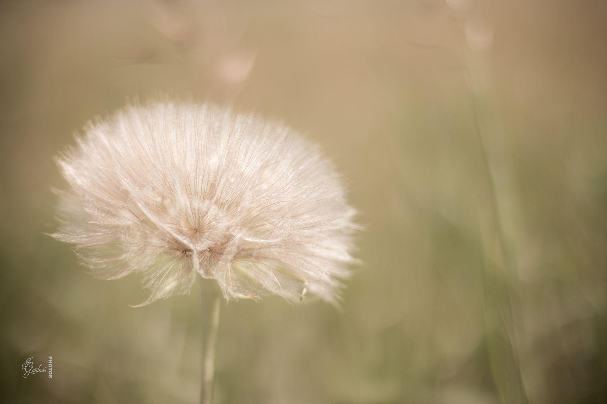 Magical Dandelion by Jackie Gartner